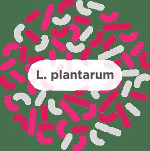 Lactobacillus plantarum